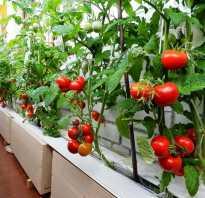 Помидоры на лоджии выращивание