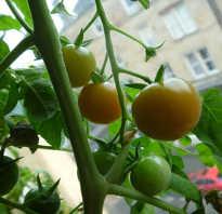 Как вырастить помидоры дома зимой на подоконнике